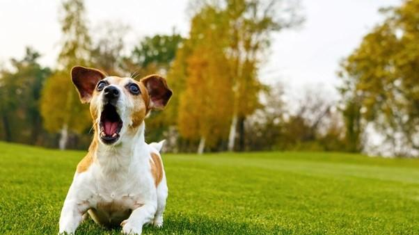 كلب لطيف ينبح في الحديقة.
